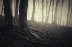 Tree with twisted roots in haunted Halloween forest with fog Stock Images