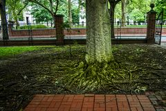 Tree with twisted tangle of roots growing in a city fenced in garden
