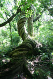 Tree with twisted trunk. Old tree with a twisted, intertwined-like trunk in the forest, Fiji Royalty Free Stock Photo