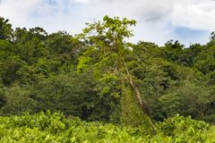Tree with two iguanas on shoreline of Gatun Lake, Panama stock photo