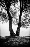 Tree with two trunks willow of lake, black and white photography. Tree with two trunks, willow, by the lake, photography in black and white royalty free stock photos