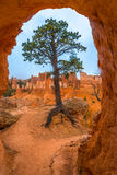 Tree under Sandstone Arch Bryce Canyon Royalty Free Stock Photo