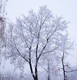 Tree under snow. Can be used as background Stock Images