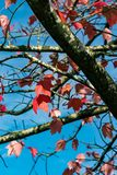 Red fall leaves. Tree under a sunny blue sky with red autumn leaves Royalty Free Stock Images