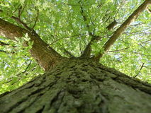 Tree Up. Point of view from the bottom of a tree facing upward Royalty Free Stock Photo