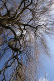 Tree with upright view. Stem of a weeping willow tree with upright view to the sky Stock Photos