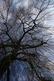 Tree with upright view. Stem of a weeping willow tree with upright view to the sky Stock Photography