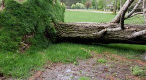 Tree uprooted by severe wind storm. Tree uprooted by a severe wind storm laying on a green lawn royalty free stock photography