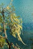 Tree usnea Royalty Free Stock Photography