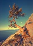 Tree_V solo del pino fotografie stock
