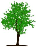 Tree (vector) Royalty Free Stock Photos