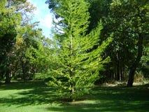 Tree in Vergelegen garden Royalty Free Stock Photo