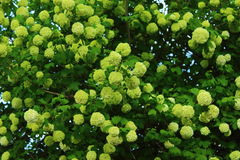 Tree viburnum. A variety of colors on a bush viburnum Royalty Free Stock Photo