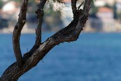 Tree vid havet Arkivfoton