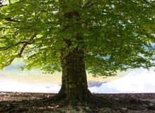 Tree vid laken arkivfoton