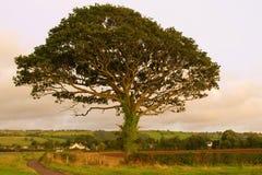 Tree. View of the beautiful tree near Campsie Stock Image