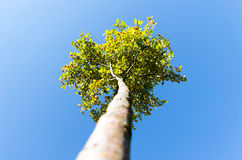 Tree. View from the bottom up Stock Image