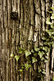 Tree and Vine. Textured tree bark and a creeping vine Royalty Free Stock Photography