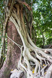 Tree and vine Stock Photography