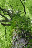 Tree Vine. A vine using an established tree to support its growth Stock Image