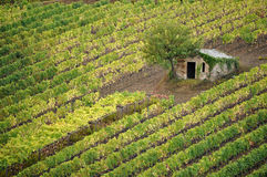 Tree in Vineyard. Small building and tree in the vineyard. Tuscany, Italy Royalty Free Stock Photos
