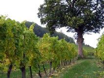 Tree in a vineyard. Autumn vineyard stock photos