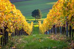 Tree and vineyard in autumn, Austria. Tree and vineyard in autumn color, near village Berg, Burgenland, Austria royalty free stock photography