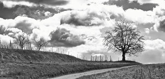 Tree on a vineyard BW Royalty Free Stock Image