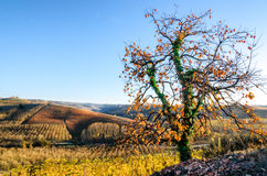 Tree and vineyard of Langhe. Piedmont, Italy in autumn royalty free stock photography