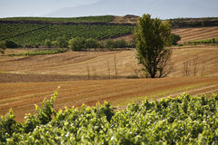 Tree and vineyards. View of a tree and vineyards in La Rioja, Spain Royalty Free Stock Image