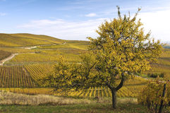 A tree and vineyards in autumn Stock Images