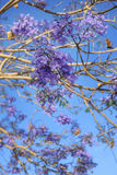 Tree with violet flowers Royalty Free Stock Images