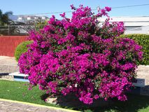 Tree with violet flowers and restaurant in mexican city in Santa Maria del Tule city in Mexico. Tree with violet flowers and restaurant at Tule city in Mexico at stock photos
