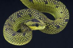 Tree viper / Atheris nitschei Stock Image