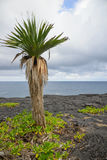 Tree on volcanic rock in front of the sea, Reunion Stock Photo