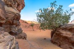 Tree in Wadi Rum desert, Jordan Stock Photo