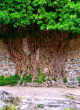 Tree and a wall. Strange old tree - growing on the wall royalty free stock image