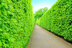 A tree wall. Green tree wall in the maze Royalty Free Stock Photography