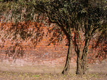 Tree in the Wall. Overgrowned tree Royalty Free Stock Image