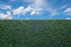 Tree wall. Blue sky bush Royalty Free Stock Photo