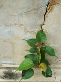 Tree on the wall. Bodhi Tree on the wall Stock Image
