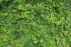 Tree wall. Green plants cover on the wall Royalty Free Stock Photo