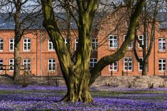 Tree in warm evening light in purple flower carpet of thousands of crocuses, Crocus napolitanus Murder Laun & Lois, Husum, Germany. Tree in the warm evening royalty free stock photos