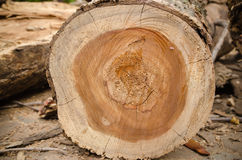 tree that was being cut. Royalty Free Stock Photos