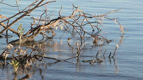 Tree In Water. Old drift wood tree lying in the rippling water at sunrise stock footage