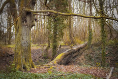 Tree by The Wath Wood. Big trees by The Wath Wood, Rotherham, Yorkshire, England on cloudy winter day Stock Photos