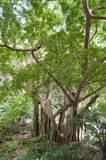 Tree in Welchman Hall Gully in Barbados. Caribbean Sea Island Stock Image