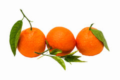 Tree wet tangerines of orange color with green lea Stock Photos