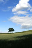 Tree in Wheat Field. Deciduous tree standing alone in wheat field against blue sky with puffy clouds royalty free stock photography