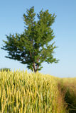 Tree, wheat field and path Royalty Free Stock Photo